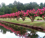 Crepe Myrtle Shrubs Information That You Will Need To Know