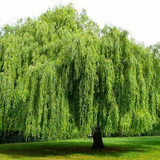 There's Art & Music In The Weeping Willow Tree: Plant Today!