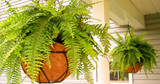 ​Boston Fern: Bring This Staple Into Your Home Right Away