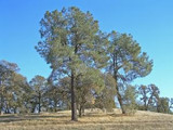 The Bull Pine Tree: Magnificent To Behold Anywhere You Look
