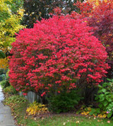 Burning Bush Is A Brilliant Colored Shrub That Looks Amazing