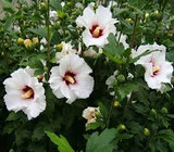 ​White Hibiscus: Beautiful, Sun Lover, And Elegant Taste