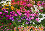Choose Your Bloom Color - Garden Delights Nursery-Buy Online