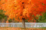 Sugar Maple Trees For Sale At The Tennessee Nursery