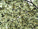 Dogwood Trees To liven Up Your Garden