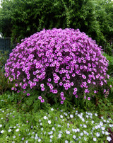 ​The Advantages Of Planting Hardy Geranium Plants In Areas
