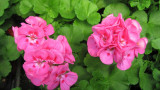 Geranium Plant: A Plant That Has Stem Color And Adds Life