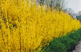 Fiesta ​Forsythia: An Early Flowering Plant, That Is A Joy