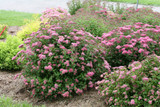 Pink Spirea: Lovely, With Color And Style You Can See