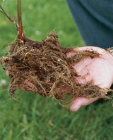 How To Plant Bare Roots For Your Garden Successfully