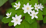 ​Rue Anemone: A Pretty Common Place Flower For Wooded Areas