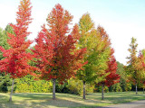 Sweet Gum Trees: A Wonderful Plant With A Huge Appeal