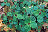 The Beautiful ​Toadshade Trillium: Cool Shades and Styles
