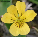 Yellow Violets: The Information And Tips You Really Need