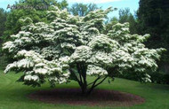 ​The Pagoda Dogwood; Everything you Should Know About It