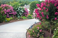 Crepe Myrtle Varieties And Benefactors That Will Help You