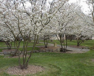 Wild Plum Tree: Native To Many Areas And Loved By All
