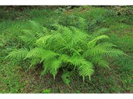 Wood Fern: A Lovely Addition To Your Home And Your Garden