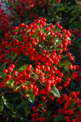Berry Bushes Feed Wildlife and Are Healthy To Eat And Enjoy