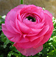 Growing Ranunculus Plants: Great For Ornamental Ideas