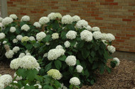 ​Snow Hill Hydrangea: Buy At Garden Delights Online Nursery