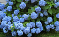​Proper PH For Hydrangea Shrubs