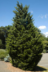 The Benefits of Planting Red Cedar Trees