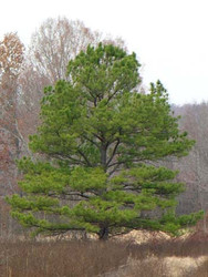 Loblolly Pine Tree Is Now On Sale Today At The Tn Nursery!