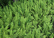 Ferns Make Garden Landscapes beautiful