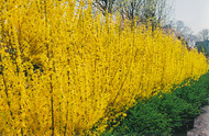 ​Fiesta Forsythia: An Early Flowering Plant, That Is A Joy