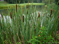 Unique Cattails, Known For Shapes, Styles And Colors