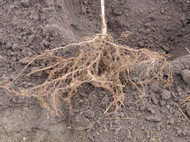 How To Plant Bare Root Perennials