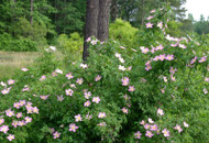 Carolina Rose Bush: Many Attributes Of Using These Plants