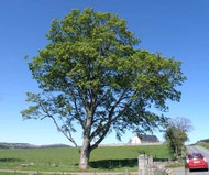 The Sycamore Tree: Known For Its Dynamic Power And Grace