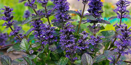 Bugleweed also called common bugleweed, is a fast-growing herbaceous perennial ground cover.