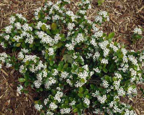 Black Chokeberry Shrub is a perfect choice for naturalizing.