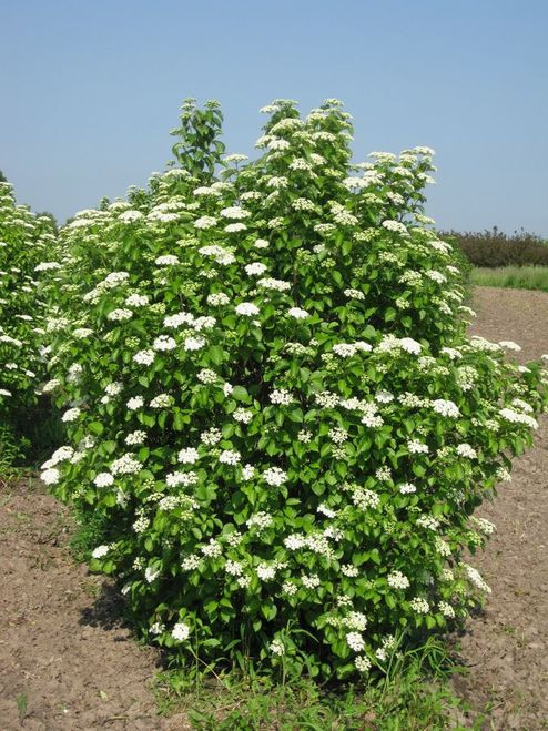 Viburnum dentatum · produces beautiful white flowers in late spring that are non-fragrant, grouped in flat three-inch clusters.