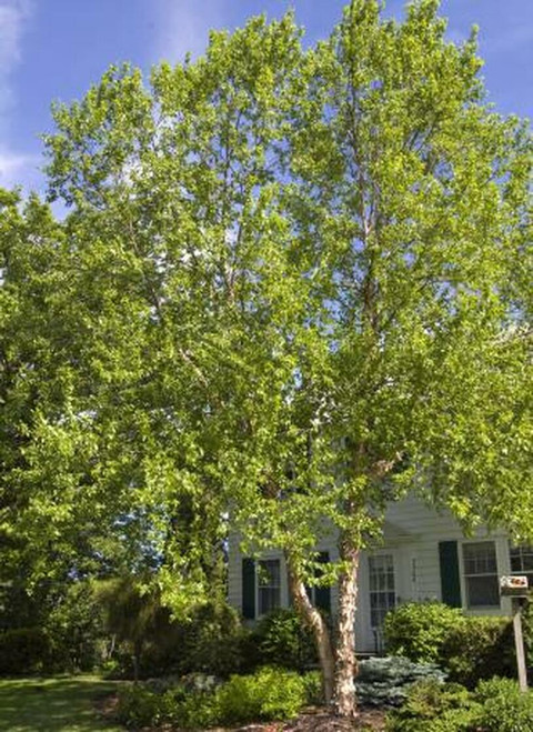 River Birch Live Stakes is also known as Betula Nigra.