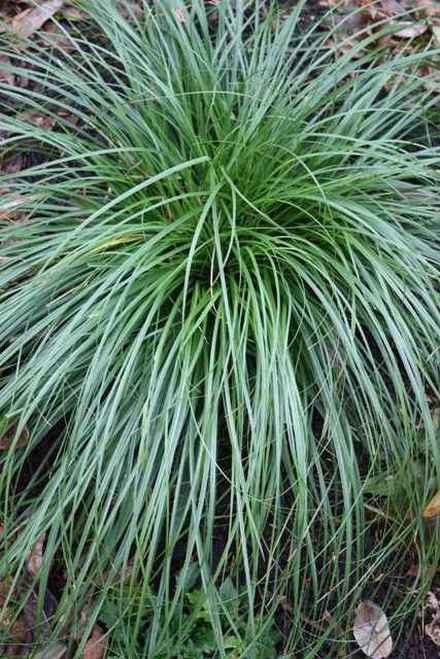 Cherokee Sedge is a long-lived, perennial grass that grows in compact mounds.