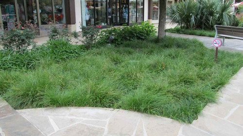 Texas sedge is a good-looking, multipurpose, native sedge with bunches of fine-textured leaves.