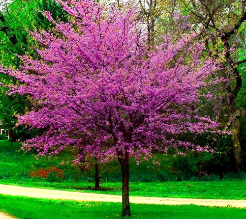 Redbud Tree flowers are small, measuring only 1/2 inch long. Other than that, this plant is colored lavender or rosy pink.