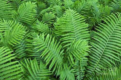 Hay-scented Fern is a fast-growing deciduous native that forms colonies.