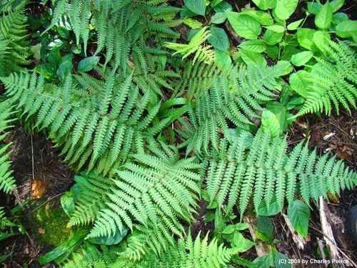 Glade fern, also known as diplazium pycnocarpon, is a narrow-leaved fern that grows in zones three to eight.