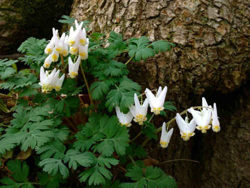 Dutchman's Breeches Plant  is a low plant with attractive foliage as well that will look good around surrounding other flowers.