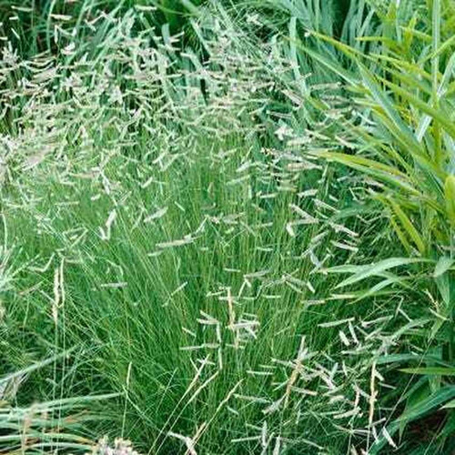 Barnyard grass is attractive green grass when used for landscaping as it can grow up to 5 feet.