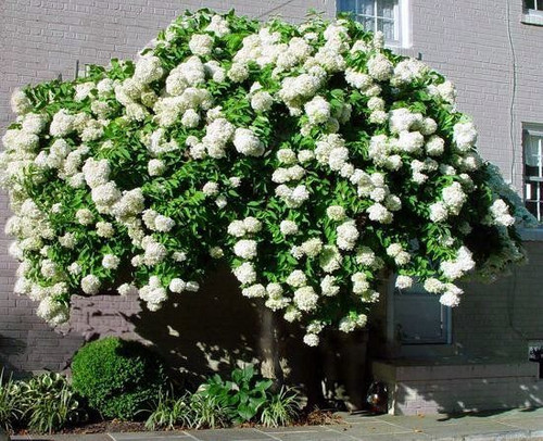 Pee Gee Hydrangea will grow and bloom in a wide variety of climates.