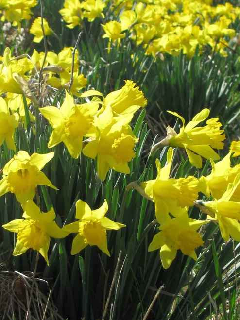 Daffodil Plant beautiful perennials will bloom each year in the spring months and will create a gorgeous look with their brightly colored yellow blooms.