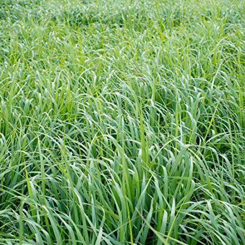 Switch grass breaks winter dormancy in late April and can provide some grazing in late May