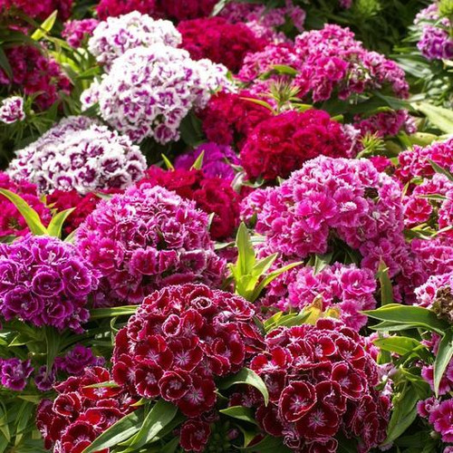 Sweet William is a perennial flower that is widely planted as an annual or biennial.