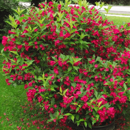 Red Weigelia Shrub may need more if it's planted in a hot, dry area or in a place where the soil drains quickly.